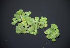 Kochuripana: Waterhyacint. Royalty-vrije Stock Afbeeldingen