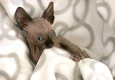 Koci się, łysy kot, bezwłosy kanadyjczyk Sphynx, brąz Syjamski, popielaty, obrazy stock