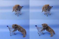 Koci się bawić się z wózek na zakupy, ekranizuje rozłam w cztery częściach, multicam, Obrazy Stock