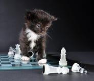 Koci się patrzejący szklaną szachową deskę z kawałkami Zdjęcia Royalty Free