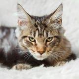 Koci się srebnego czarnego koloru Maine coon pozuje na białym tle Obrazy Royalty Free