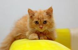 kociaki pomarańcze zdjęcia royalty free
