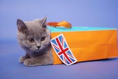 kociaki shorthair brytyjski Obrazy Royalty Free