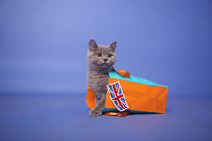 kociaki shorthair brytyjski Fotografia Stock