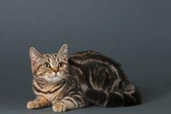 kociaki shorthair brytyjski Zdjęcie Stock