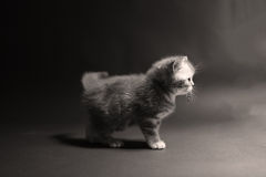 kociaki shorthair brytyjski fotografia royalty free