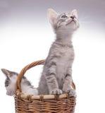 kociaki trochę zabawne odosobnione white Zdjęcia Royalty Free