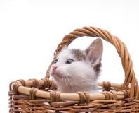 kociaki trochę zabawne odosobnione white Obraz Royalty Free