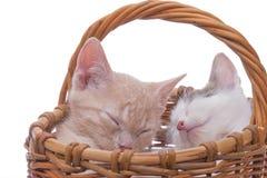 kociaki trochę zabawne odosobnione white Obrazy Royalty Free