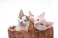 kociaki trochę zabawne odosobnione white Obrazy Stock