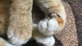 Kocie białe nogi z pazurami zbiory wideo
