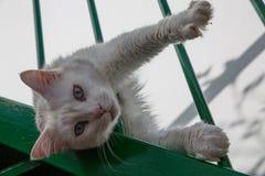 Kociego spojrzenia Biały kot z niebieskimi oczami zdjęcie stock