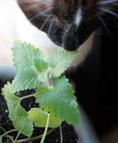 Kocimiętki roślina Z kotem Zdjęcie Royalty Free