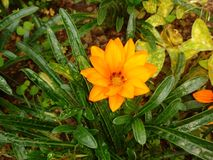 Begonia Royalty Free Stock Photos
