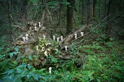 Kodama duchy w lesie ilustracja wektor