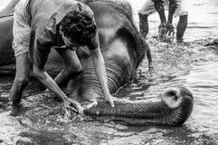 Kodanad-Elefant-Schongebiet - Elefantbaden laufend mit den Wächtern, die tief den Stamm säubern - Schwarzweiss lizenzfreies stockbild