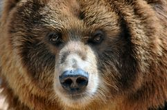 Kodiak-Bär mit Fliege auf Wekzeugspritze. Lizenzfreie Stockfotografie