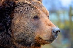 Kodiak Bear. Close up of the face of a Kodiak Bear Royalty Free Stock Photos