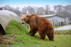 Kodiak Bear. Standing on a hill Stock Photos
