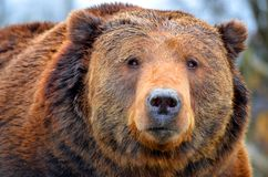 A Kodiak Bear. Close up Stock Photo