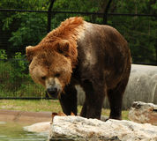 Kodiak Bear. A large, brown Kodiak bear in a zoo Royalty Free Stock Images