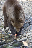 Kodiak bear. With a carrot - adobe RGB Royalty Free Stock Image