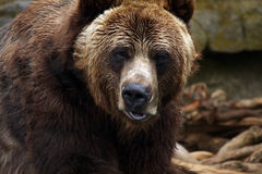 Kodiak Bear. Intimidating Kodiak Grizzly Bear staring at the photographer and making a threatening face Royalty Free Stock Image