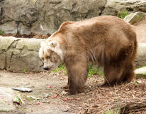 Kodiak bear Royalty Free Stock Photos