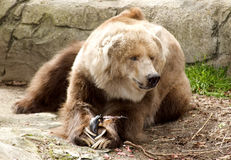 Kodiak Bear. Brown kodiak bear standing on all fours with a rocky background Stock Photo
