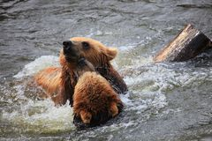 Kodiak bear Stock Images