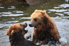Kodiak bear. A photo of kodiak brown bear Royalty Free Stock Images
