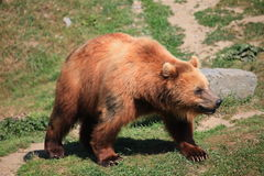 Kodiak bear. A photo of kodiak brown bear Stock Photo