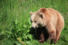 Kodiak bear Royalty Free Stock Photography