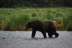Kodiak Bear/Alaskan Brown Bear. A large Alaskan Brown Bear patrols the rivers of Katmai National Park, near Kodiak Island, in search of salmon stock photography