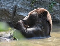 Brown Kodiak bear bathing in the wild. Kodiak bear bathing in the wild, holding a twig in its paws Royalty Free Stock Image