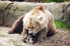 Kodiak Bear Eats A Fish. Kodiak bear eating a fish whilst sitting down. Brown rocky enclosure background Stock Photography