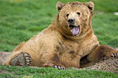 Kodiak bear expression. Large Kodiak bear opening mouth looking expressive Stock Image
