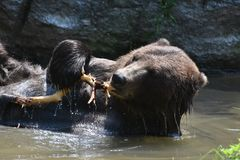 Kodiak bear nibbling on a tree branch. Kodiak bear nibbling on a branch in the wild Stock Photos