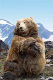Kodiak bear performing. Kodiak brown bear posing for camera Stock Photography