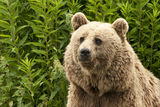 Kodiak bear. Portrait of a Kodiak Bear (Ursus arctos middendorffi Stock Photos