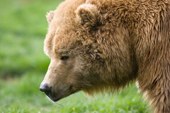 Kodiak bear profile. Close up profile a kodiak bear grassy background Royalty Free Stock Image