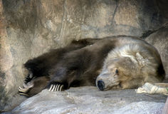 Kodiak Bear resting. Kodiak bear sleeping on a rock after a meal Royalty Free Stock Images