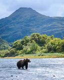 Kodiak Bear River Crossing Royalty Free Stock Photography