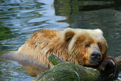 Kodiak bear swimming. Close-up of a big kodiak bear swimming Royalty Free Stock Images