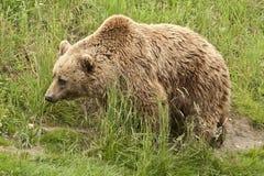 Kodiak bear. (Ursus arctos middendorffi) pacing through high grass stock photography