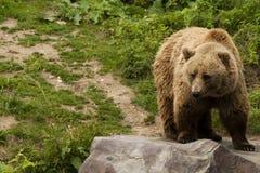 Kodiak bear. (Ursus arctos middendorffi) standing on a rock stock photos