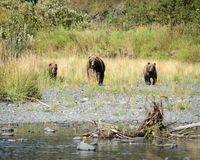 Kodiak Bears Coming Stock Photos