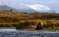 Kodiak brown bear royalty free stock photo
