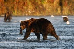 Kodiak brown bear. Fishing in karluk river Royalty Free Stock Images