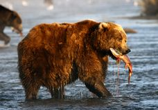 Kodiak brown bear. Fishing in Karluk River on Kodiak Island Stock Photo